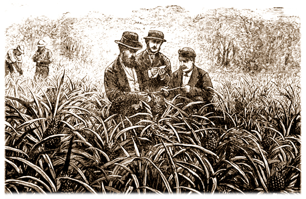 Artist's Rendering of Exporters Inspecting Pineapple Fields